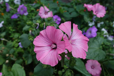 2 pink flowers of Lavatera trimestris in August
