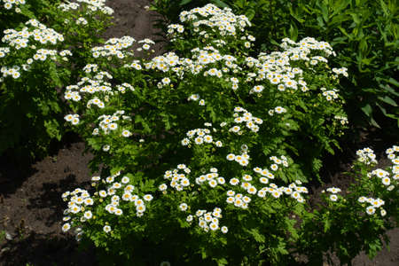 Plenty of white flower heads of Tanacetum parthenium in June