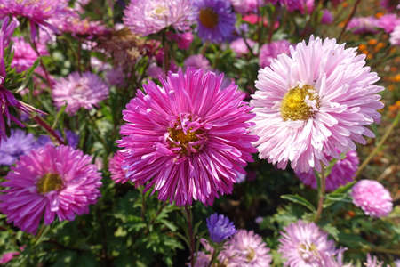 Colorful pink and violet flowers of China asters in September