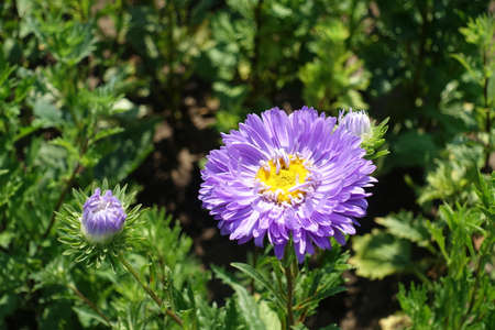 One semi double violet flower of China aster in mid August