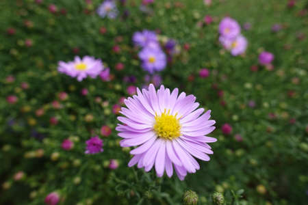 Closeup of one pink flower of Michaelmas daisies in September