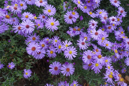 Delicate violet flowers of Michaelmas daisies in October
