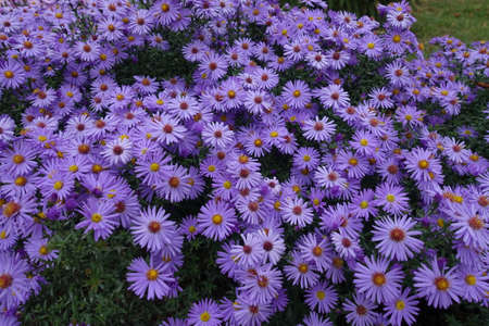 Bushy aster with lots of violet flowers in October Banco de Imagens