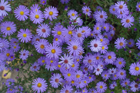 Dozens of violet flowers of Michaelmas daisies in October