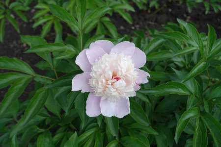 Pale pink flower of common peony in May Banco de Imagens