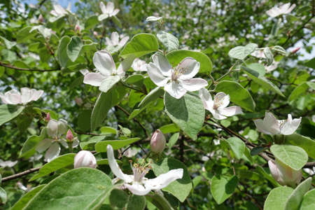 Lush green leaves and pinkish white flowers of quince tree in May Banco de Imagens