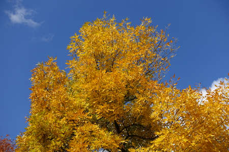 Amber yellow autumnal foliage of Fraxinus pennsylvanica against blue sky in October
