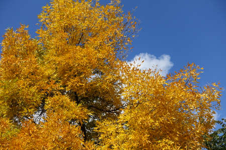 Orangey yellow autumnal foliage of Fraxinus pennsylvanica against blue sky in October Banco de Imagens