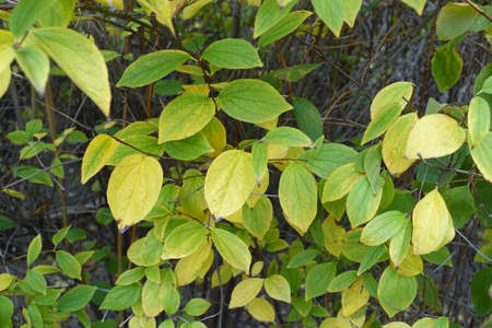 Colorful green and yellow autumnal foliage of mock orange in October