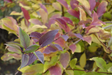 Purple, green, red and yellow autumnal foliage of forsythia in October