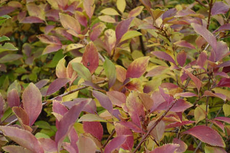 Branches of forsythia bush with autumnal foliage in October