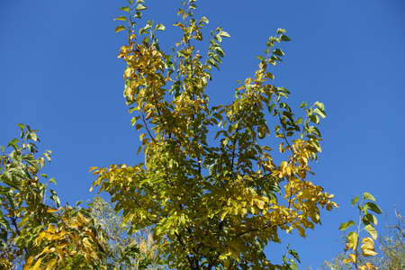 Upright branches of mulberry against blue sky in mid October Banco de Imagens