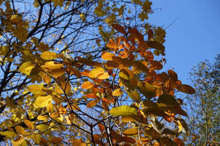 Blue sky and autumnal foliage of smoke tree in mid October