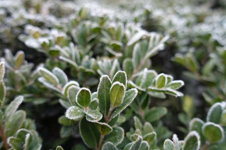 Closeup of leaves of common boxwood covered with hoarfrost in November