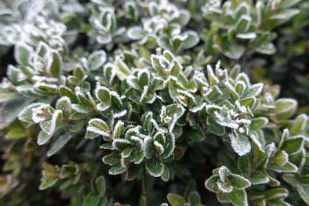 Leafage of common boxwood covered with hoar frost in November