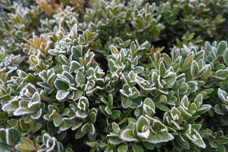 Evergreen foliage of common boxwood covered with hoarfrost in November