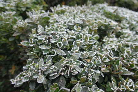 Green foliage of common boxwood covered with hoar frost in November Banco de Imagens