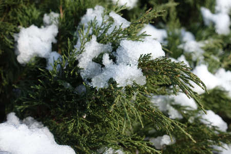 Closeup of foliage of juniper covered with snow in December