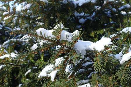 Lush green branch of yew covered with snow in February
