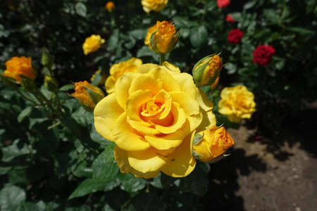 Gold colored flower of rose in June