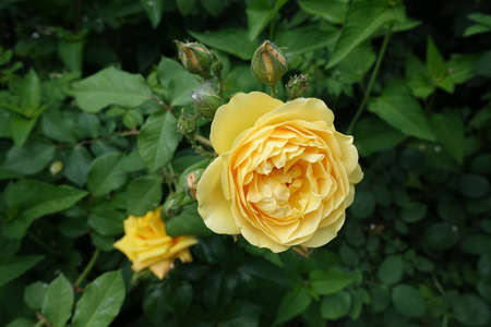 Pastel amber yellow flower of rose in June