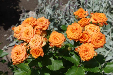 Many bright orange flowers of roses in June
