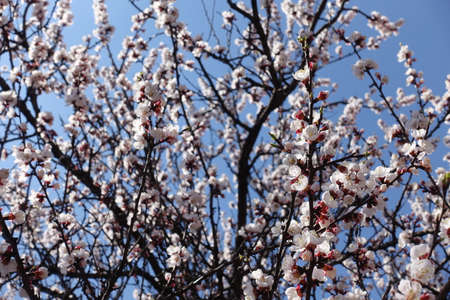 Lots of white flowers on branches of apricot against blue sky in April