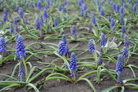 Urn shaped blue flowers of Armenian grape hyacinths in April