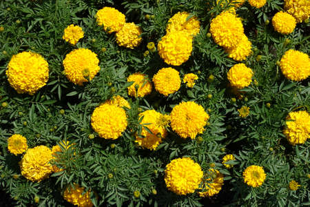 View of bright yellow flowers of Tagetes erecta from above 免版税图像