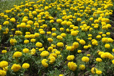 Plenty of bright yellow flowers of Tagetes erecta in June 免版税图像