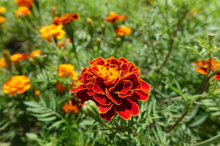 Close shot of red flower head of Tagetes patula in July