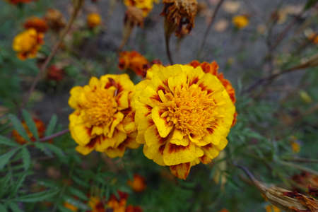Amber yellow and red flower heads of Tagetes patula in October 免版税图像