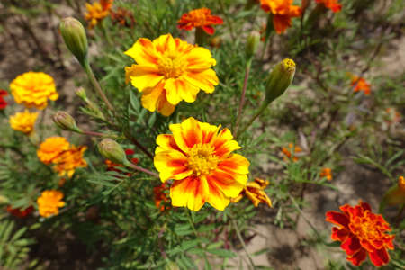 Brightly colored yellow and red flower heads of Tagetes patula in July
