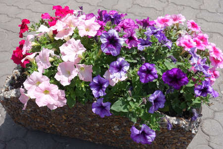 Multicolored flowers of petunias in late spring 免版税图像