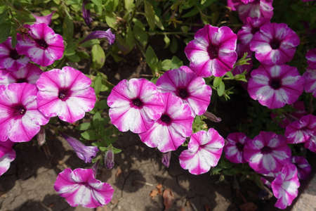 Bicolor pink and white flowers of petunias in mid July 免版税图像
