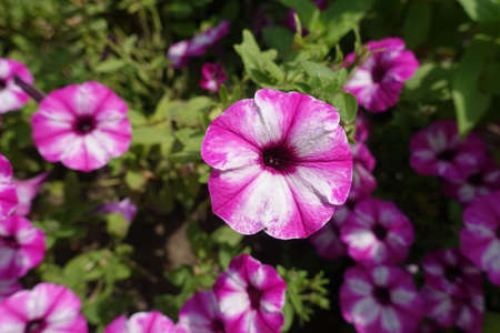 Pink and white flowers of petunias in mid July