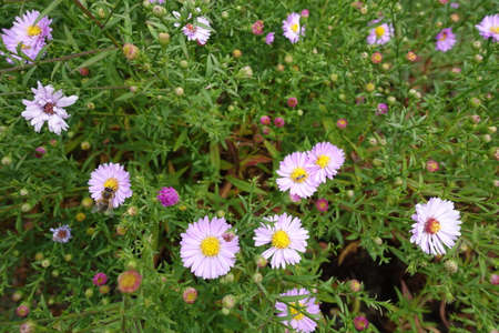 Insects pollinating pink flowers of Michaelmas daisies in September