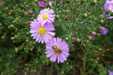 Closeup of bee pollinating pink flowers of Michaelmas daisies in September 免版税图像