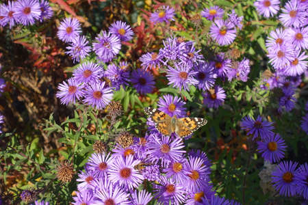 Butterfly pollinating purple flowers of Michaelmas daisies in mid October