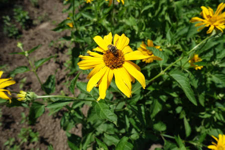 Bee pollinating yellow flower of Heliopsis helianthoides in mid June