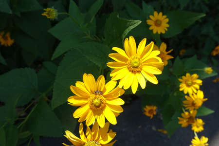 Insect pollinating yellow flower of Heliopsis helianthoides in July 免版税图像