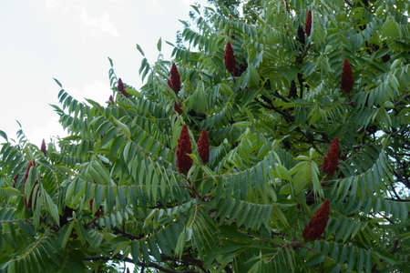 Ripe red seeds in the leafage of vinegar tree in July