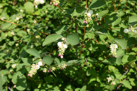 Globose berries and pink flowers of common snowberry in July 免版税图像