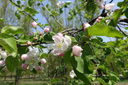 Recently opened flowers and buds of apple tree in April 免版税图像