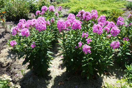 Full length view of Phlox paniculata with pink flowers in July 免版税图像
