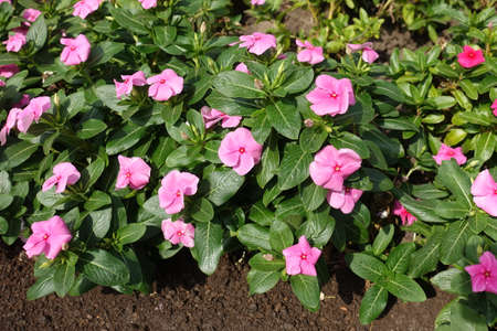 Numerous pink flowers of Catharanthus roseus in mid September 免版税图像