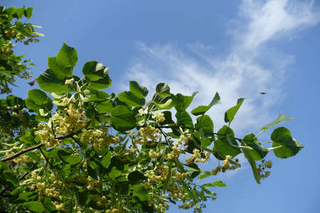 Flowering branch of linden tree against blue sky in mid June 免版税图像