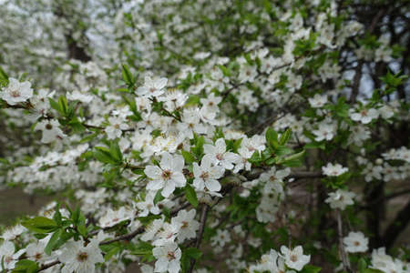 Greenery and white flowers of plum tree in April