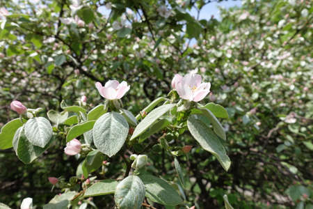 Pubescent leaves and pinkish white flowers of quince tree in May