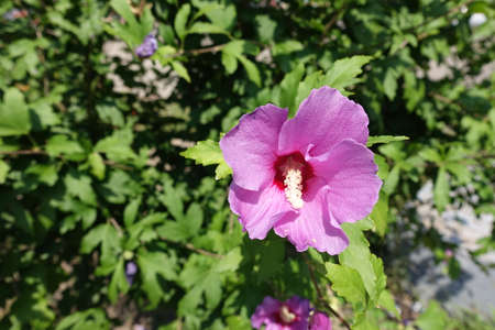 Not fully opened pink flower of Hibiscus syriacus in mid August